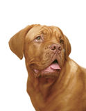 Mastiff on a white background. Royalty Free Stock Photos