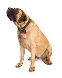 Mastiffhond die aan Kant kijken Stock Foto's