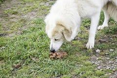 Mastiffhundeessen Stockfoto