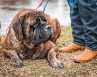 Mastiffs and Cowboy Boots. A huge mastiff lays patiently by his humans side. He is giant but he is sweet stock photography