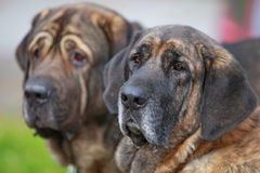 Mastiffs espagnols Photo libre de droits