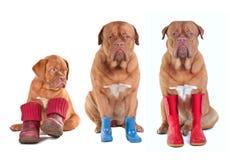 Mastiffs francesi con i caricamenti del sistema per tutte le stagioni Fotografia Stock