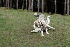 Mastiffspielen Stockfotografie