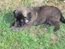 Mastigação do cachorrinho Imagens de Stock Royalty Free