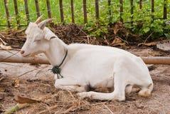Mastigação horned nova da cabra Foto de Stock Royalty Free