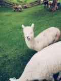 Mastigando a alpaca Fotos de Stock Royalty Free