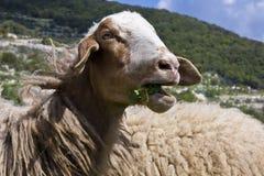 Mastigando carneiros Fotografia de Stock