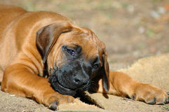 Mastigando o filhote de cachorro Fotos de Stock Royalty Free