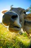 Mastigando a vaca Foto de Stock Royalty Free