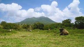 Mastigar a vaca está encontrando-se na terra nas montanhas de Saint kitts e de ilhas de Nevis Timelaps vídeos de arquivo