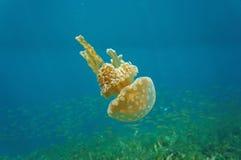Mastigias水母入侵的硬币加勒比海 免版税图库摄影