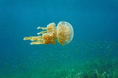Mastigias jellyfish underwater in Caribbean sea Stock Photography