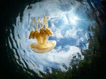 Mastigias Papua oder goldene Medusa Lenmakana Jellyfish See, Misool lizenzfreies stockfoto
