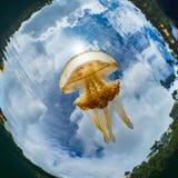 Mastigias Papua oder goldene Medusa Lenmakana Jellyfish See, Misool lizenzfreie stockbilder