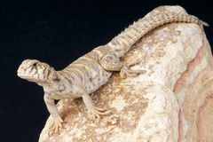 Mastigure / Uromastux ornata Stock Images