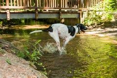 Mastim alemão manchado preto e branco que corre através da água com respingo fotos de stock