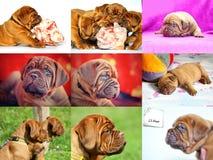 Mastim grande do francês dos moloss do cão imagem de stock royalty free