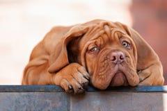 Mastim muito engraçado do Bordéus do cachorrinho Foto de Stock