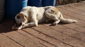 Mastin Spanish Royalty Free Stock Images