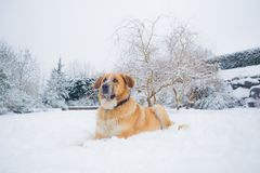 Mastine-Hund, der im Schnee spielt Zieleinheit des Schnees landscape stockfoto