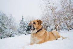Mastine-Hund, der im Schnee spielt Zieleinheit des Schnees landscape stockbild