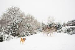 Mastine-Hund, der im Schnee spielt Zieleinheit des Schnees landscape stockfotografie