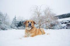 Mastine-Hund, der im Schnee spielt Zieleinheit des Schnees landscape lizenzfreie stockfotografie
