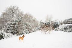Mastinehond het spelen in de sneeuw De bestemming van de sneeuw landscape stock afbeeldingen