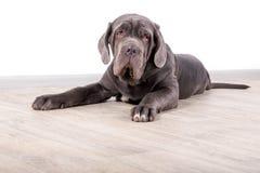 Mastino de Neapolitana de chiot, se reposant sur le plancher dans le studio Maitres-chien de chien formant des chiens depuis l'en Photo libre de droits