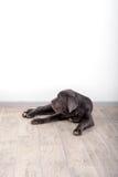 Mastino de Neapolitana de chiot, se reposant sur le plancher dans le studio Maitres-chien de chien formant des chiens depuis l'en Photographie stock