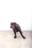 Mastino de Neapolitana de chiot, se reposant sur le plancher dans le studio Maitres-chien de chien formant des chiens depuis l'en Photos stock