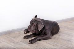 Mastino de Neapolitana de chiot, se reposant sur le plancher dans le studio Maitres-chien de chien formant des chiens depuis l'en Image libre de droits