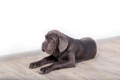 Mastino de Neapolitana de chiot, se reposant sur le plancher dans le studio Maitres-chien de chien formant des chiens depuis l'en Photographie stock libre de droits