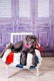 Mastino de Neapolitana de chiot se trouvant sur le sofa Maitres-chien de chien formant des chiens depuis l'enfance Image stock