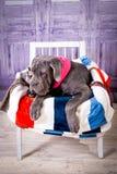 Mastino de Neapolitana de chiot se trouvant sur le sofa Maitres-chien de chien formant des chiens depuis l'enfance Photo libre de droits
