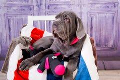 Mastino de Neapolitana de chiot se trouvant sur le sofa Maitres-chien de chien formant des chiens depuis l'enfance Images libres de droits