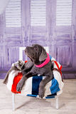Mastino de Neapolitana de chiot se trouvant sur le sofa Maitres-chien de chien formant des chiens depuis l'enfance Images stock