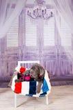 Mastino de Neapolitana de chiot se trouvant sur le sofa Maitres-chien de chien formant des chiens depuis l'enfance Image libre de droits