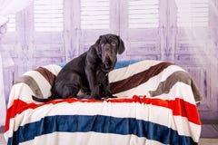 Mastino de Neapolitana de chiot se trouvant sur le sofa Maitres-chien de chien formant des chiens depuis l'enfance Photographie stock libre de droits
