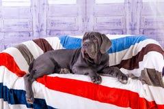 Mastino de Neapolitana de chiot se trouvant sur le sofa Maitres-chien de chien formant des chiens depuis l'enfance Photos stock