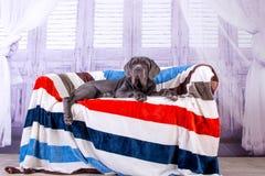 Mastino de Neapolitana de chiot se trouvant sur le sofa Maitres-chien de chien formant des chiens depuis l'enfance Photo stock