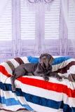 Mastino de Neapolitana de chiot se trouvant sur le sofa Maitres-chien de chien formant des chiens depuis l'enfance Photos libres de droits