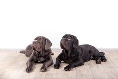 Mastino de Neapolitana de chiots se reposant sur le plancher dans le studio Maitres-chien de chien formant des chiens depuis l'en Photo stock