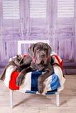 Mastino di Neapolitana del cucciolo che si trova su una sedia Addestratori di cani che preparano i cani dall'infanzia Immagini Stock Libere da Diritti