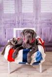 Mastino di Neapolitana del cucciolo che si trova su una sedia Addestratori di cani che preparano i cani dall'infanzia Immagine Stock Libera da Diritti