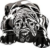 Mastino napoletano puppy Royalty Free Stock Images