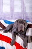 Mastino Neapolitana κουταβιών που βρίσκεται στον καναπέ Χειριστές σκυλιών που εκπαιδεύουν τα σκυλιά από την παιδική ηλικία Στοκ Εικόνες