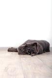 Mastino Neapolitana κουταβιών, που κάθεται στο πάτωμα στο στούντιο Χειριστές σκυλιών που εκπαιδεύουν τα σκυλιά από την παιδική ηλ Στοκ Φωτογραφία