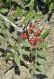 Mastyksowi drzewo kwiaty Obraz Royalty Free