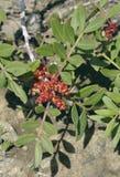 Mastyksowi drzewo kwiaty Fotografia Stock